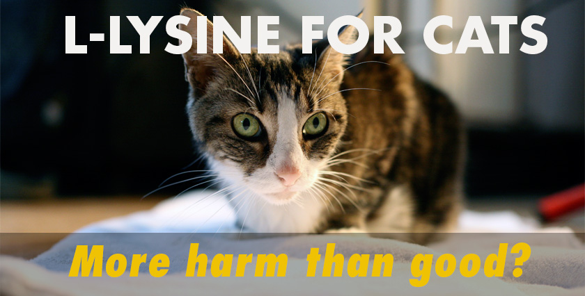 l-lysine for cats: more harm than good